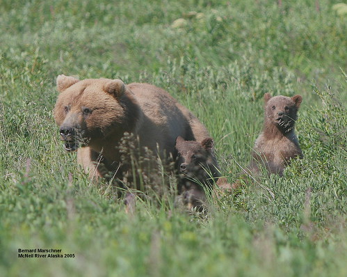 Worried Mom and Cubs