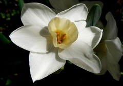 Australia Perth White Jonquil Flower (Dave Curtis) Tags: flowers white flower fantastic australia perth jonquil specnature