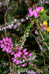 1275913549 Bell_Heather 2007-08-29_18:35:16 Greenham_Common