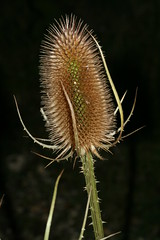 1276107005 Teasel 2007-08-29_19:44:07 Greenham_Common