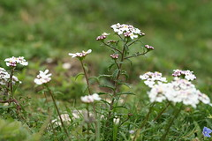 534442036 Candytuft 2007-06-06_18:50:17 Aston_Rowant