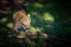 Leopard in the light (rondoudou87) Tags: panthera panthère panther léopard leopard wildcat wildlife wild parc zoo reynou sauvage pentax k1 light shadow lumière nature natur fabulousphoto phoeniximmortal redmatrix wildfelinephotography highqualityanimals