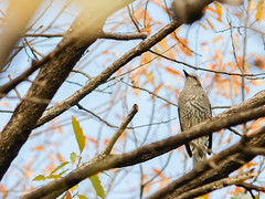 161211_GX7_1460001 (kuad9) Tags: bird