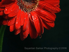 Red Gerbera (Sayantan Sarkar - The Glamor Factory) Tags: red flower nature droplets bravo waterdrop forsale nikond100 gerbera exclusive indianart helluva 10faves i500 photostock photosforsale indianphotography nikonstunninggallery p1f1 indianphotographer globalphotography pidici framezunlimited commercialphotographerindia indianadvertisingphotographer indiancommercialphotography kolkataphotographer indianimaging artdirectorschoice stockimagesforsale personalphotodatabase sayantansarkarphotographyfullcollection glamorfactoryimagegallery indianphotographersphotosforsale
