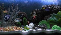 My Saltwater Fish Tank (Scott Kinmartin) Tags: fish tank anemone fishtank angelfish triggerfish saltwater tang damselfish picassotriggerfish saltwaterfish saltwatertank maroonclownfish sailfintang emperorangelfish regaltang emperator goldstripemaroonclownfish