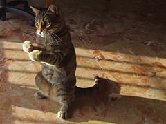 Gatto Mimmo affronta il filo (Gatto Mimmo) Tags: cats cat fight chat fighter tabby gato lotta gatto boxe tabbycat mimmo lottatore boxeur cc400 cc300 cc200 cc100 cc500 cc600 gattomimmo pet500