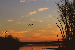 Flying In The Early Evening  (mightyquinninwky) Tags: trees sky water birds clouds reflections evening inflight december kentucky waterbird lexingtonky richmondroad waterfowl fayettecounty blueherron centralkentucky ellserlielake