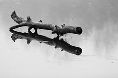 Natural Log (Leviathor) Tags: blackandwhite bw ice log bravo searchthebest schmeecklereserve magicdonkey instantfave abigfave lakejoanis