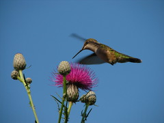 Humming Bird at Black Lake (jaylarson) Tags: minnesota birds fauna flying inflight wildlife flight flapping blacklake broadtailedhummingbird selasphorusplatycercus avians