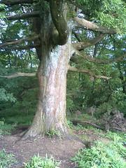 The main tree