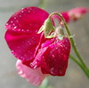 Soggy Sweet Pea (freebird4) Tags: uk flower water rain droplets bravo pretty shropshire nikond50 sweetpea excellence naturesfinest anyflower abigfave freebird4 impressedbeauty
