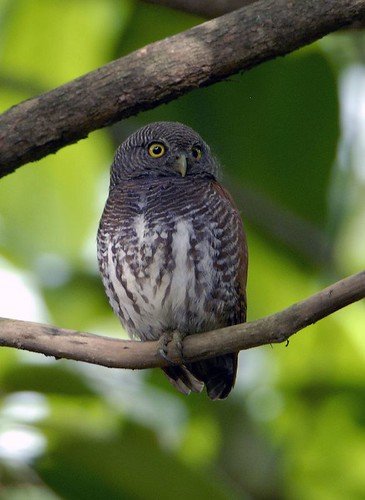 Chestnut-backed Owlet by pinebird.
