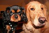 Lil' Brother, Big Sister (kotobuki711) Tags: portrait dog brown black dogs up goldenretriever pose puppy gold golden puppies close sister brother expression tan retriever fisheye spaniel pup cavalierkingcharlesspaniel thedoghouse canon15mmfisheye impressedbeauty