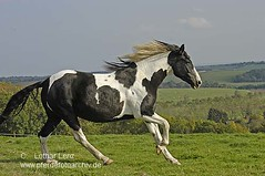 051004 (355)c (Lothar Lenz) Tags: horse caballo cheval cavalo pferd hest pinto equus paard hst hestur schecke konj hobu zirgs lotharlenz