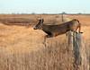 ...No Bounderies... (Random Images from The Heartland) Tags: chris nature southdakota ilovenature bravo wildlife deer bailey wetlands prairie buck chrisbailey chrisbaileyimages