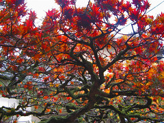 A poet's tree with borrowed flowers (aurelio.asiain) Tags: red flower tree colors beauty japan rouge temple interestingness rojo bravo kyoto poetry haiku books literature explore momiji writers   vermell kioto basho japn    i500 abigfave aurelioasiain ionushi asiain mexicaninjapan highestposition320onthursjan182007 reyesheroles theasiaingallery margendelyodo  milvistas