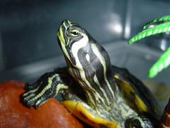 oJaZoS!!! (RoOoOo!!!) Tags: pet animal fauna ojo turtle bebe tortuga mascota reptil