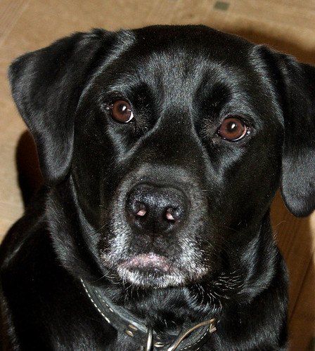 black labrador retriever - Spike