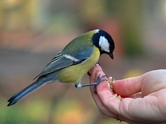 Mésange charbonnière / Great tit (Parus major) (zogt2000 (No Video)) Tags: autumn france wow ilovenature greattit mésange iloveit animalkingdomelite