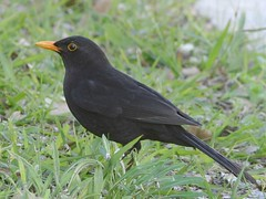 Melro - Turdus merula - Common Blackbird (Jose Sousa) Tags: wild naturaleza bird portugal nature birds animal animals fauna wildlife natureza birding feathers birdsinportugal avesemportugal natura aves ave animales setubal turdusmerula animaux animais birdwatching blackbird avesdeportugal animalia avian oiseaux avifauna birdwatcher selvagem penas vidaselvagem melro greatnature commonblackbird birdsfromportugal avesjsousa