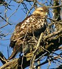 Juvenile Coopers Hawk by Mary Alice Bowles (Mary Alice Bowles) Tags: county hawk alice mary indiana jackson raptor seymour coopers juvenile bowles nwr ias maryalicebowles