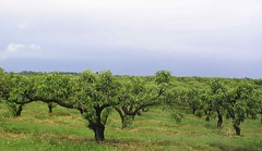 Trees - Sauvie Island Oregon (pomegranatecreations) Tags: bestnaturetnc06
