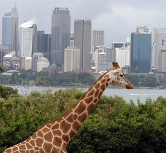 What a View... says Mr Giraffe (tacksoon) Tags: bravo harbour sydney giraffe tarongazoo anawesomeshot aplusphoto flickrplatinum