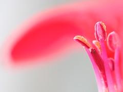 623 (saul gm) Tags: pink flower macro lafotodelasemana flor rosa geranio estambres 50faves interestingness17 specnature abigfave saúlgm ltytr1 lfsdof