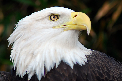 Bald Eagle by Pen Waggener, on Flickr