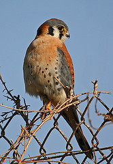 American Kestrel; Falco sparverius (MissionPhotography) Tags: fruits americankestrel blend birdwatcher acai falcosparverius monavie supershot featheryfriday anawesomeshot
