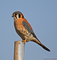 American Kestrel; Falco sparverius (MissionPhotography) Tags: california fruits orangecounty americankestrel blend birdwatcher bolsachica acai falcosparverius monavie featheryfriday abigfave isawyoufirst