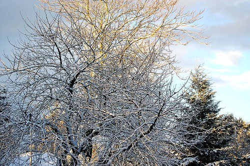snow on trees 1
