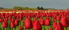 Tulip Town VI (WorldSpectator) Tags: flower tulip skagit skagittulipfestival specland theartlair