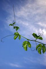 Blue Sky and Passion Fruit Vine (Craig Jewell Photography) Tags: blue sky cloud plant green nature beauty leaves clouds contrast leaf flora skies bright reaching cloudy vine curls tendril growth curly reach curl leafy cpj craigjewellphotography