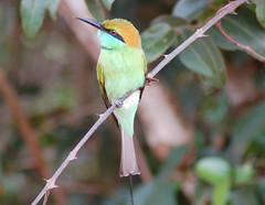Little Green Bee Eater (Patrick Costello) Tags: bird d50 explore srilanka littlegreenbeeeater yalanationalpark specanimal animalkingdomelite supremeanimalphoto impressedbeauty isawyoufirst