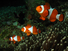 Three Brothers (Erwin Kodiat) Tags: indonesia clownfish anemonefish naturesfinest rajaampat irian