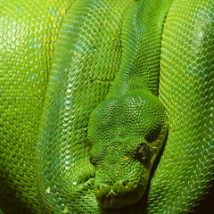 green snake (Lumatic) Tags: macro green texture nature topf25 monochrome animal closeup digital catchycolors photography zoo photo topf50 topf75 flickr graphic photos reptile snake wildlife picture explore scales online python serpent topv9999 topv11111 catchycolor snakes digitalphoto reptiles digitalphotos zoology herpetology lotse treepython moreliaviridis photosonline lotharknopp top20greenish photoonline kae lumatic