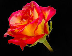 A Konfetti Rose on Black (Jeff Clow) Tags: color macro rose closeup bravo searchthebest tripod explore remote dfw lightbox outstandingshots nikond80 nikkor18200mmvrlens