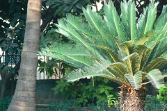 King Sago palm (dinesh_valke) Tags: flora cycas cycadaceae tender tropicals perennials sagopalm sagocycas cycasrevoluta sotetsu cycadfamily cycasmiquelii varbrevifrons varplanifolia varprolifera varrobusta japanesesagopalm kingsago kingsagopalm