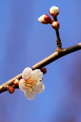 梅 / Plum (*Sakura*) Tags: winter sky white flower japan blossom sakura 冬 梅 さくら sakuraさくら
