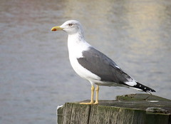 Lesser Black-Backed Gull on the Thames