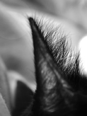 Cat Ears (Willem_H) Tags: animal cat blackwhite zwartwit sleep pussy ear poes oortjes haartjes