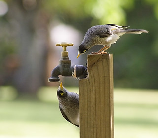 Thirsty birds at St Ives village green.