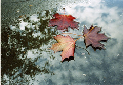 autumn reflexion (rina_cherezova) Tags: autumn leaves puddle maple reflexion outstandingshots