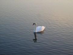DSC02069 (edwardsgt) Tags: swan reservoir tring
