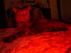 (deadoll) Tags: red cute rot cat rouge rojo kitten kitty vermelho gato gata rd rood rosso   catu  caturritamaria cauturrita