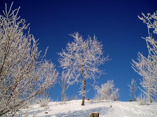 Pihlapuu - Rowan tree