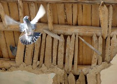 take off! (Alieh) Tags: bird fly persian iran persia iranian  esfahan isfahan      aliehs alieh   superbmasterpiece