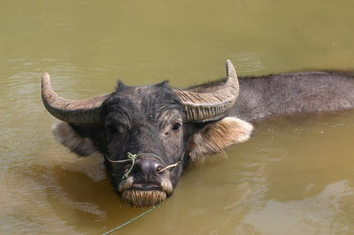 Water buffalo in its right element...
