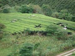 BOH Tea Plantation, Cameron Highlands (Sunshine Monkey) Tags: malaysia cameronhighlands teaplantation boh